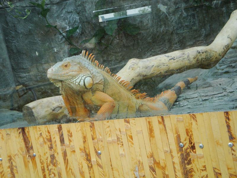 Игуана в террариуме
