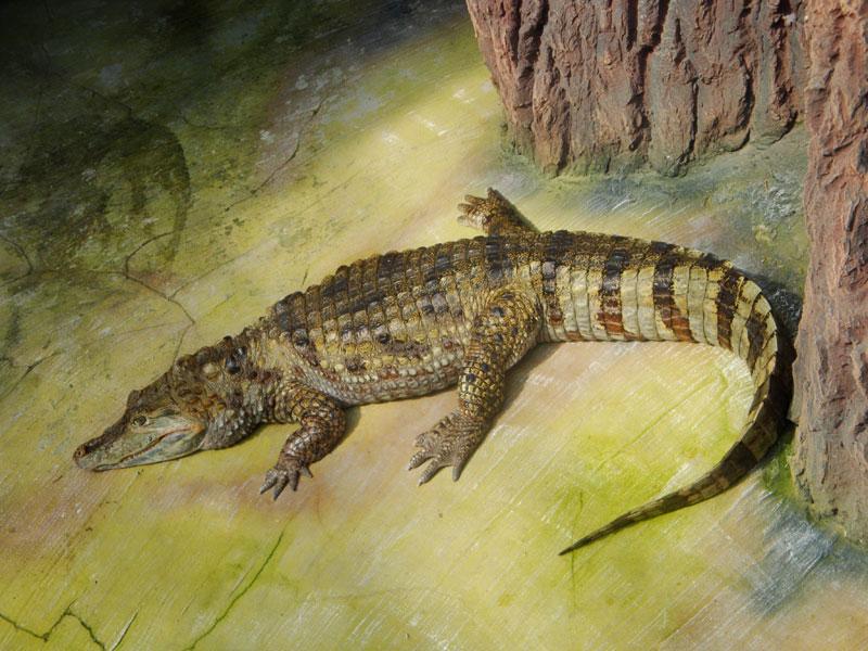 Крокодил в террариуме