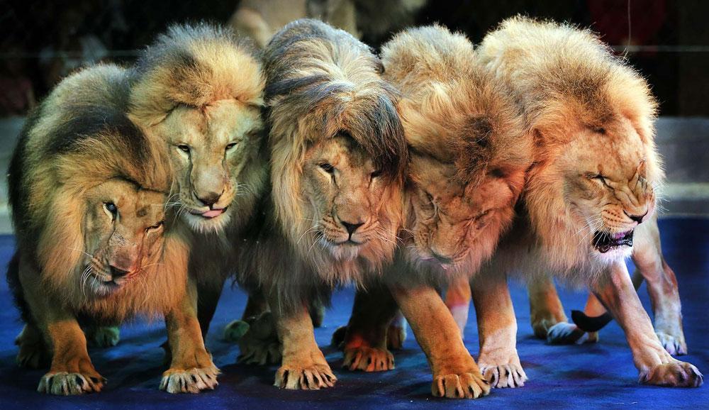 Выступление львов