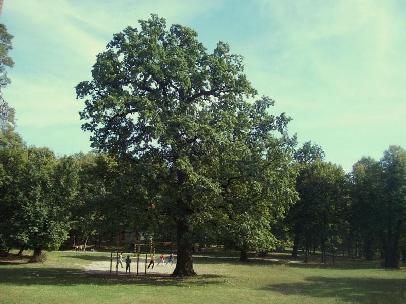 Одно из старых деревьев
