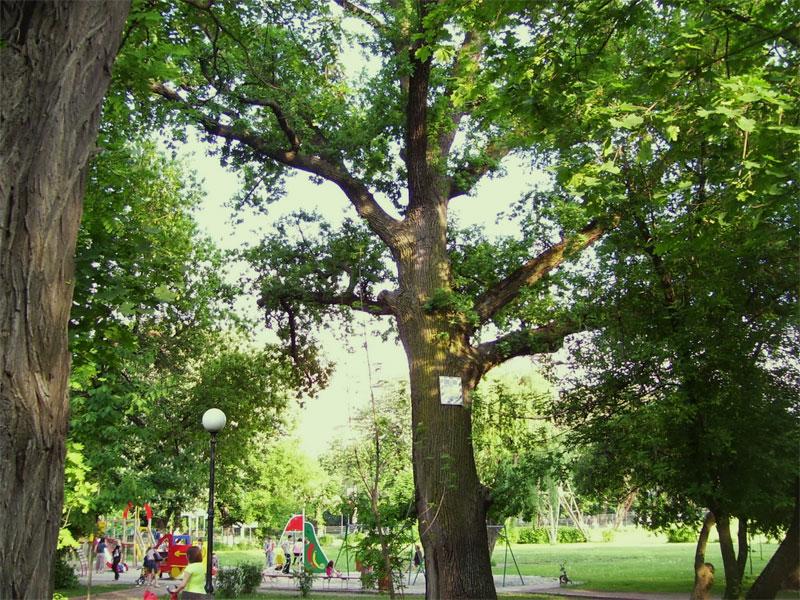 400-летний дуб в парке