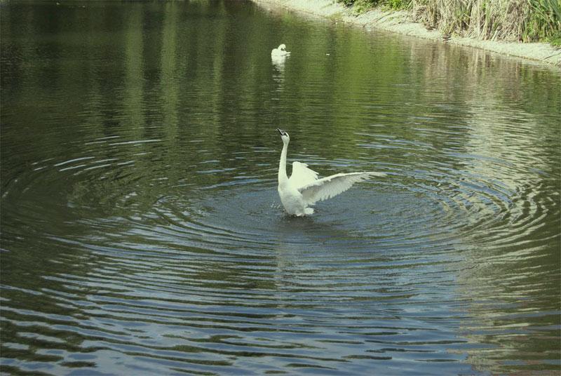 Лебедь на озере