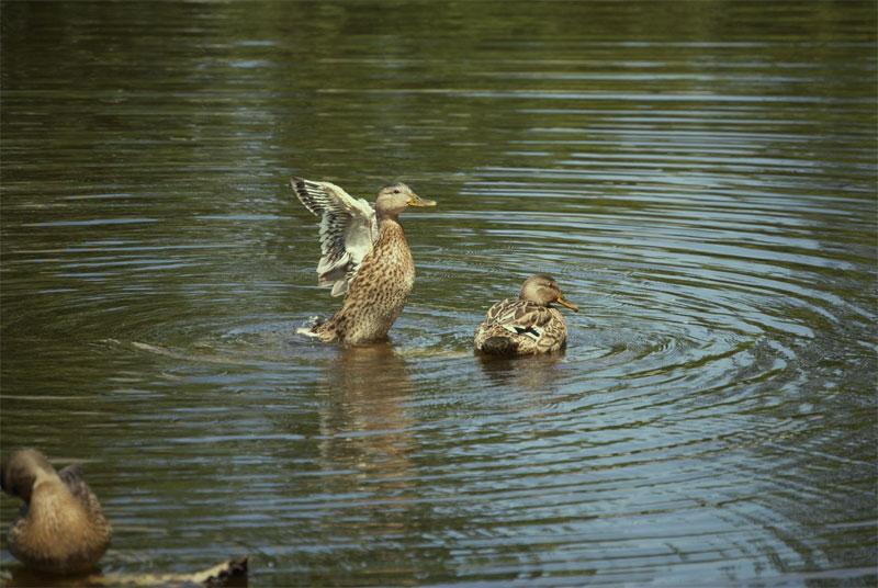 Дикие утки на озере