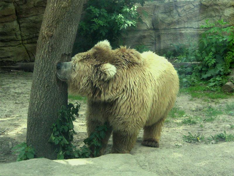 Медведь грызет дерево