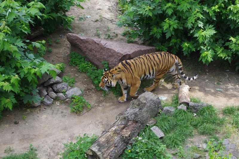А вот и тигр